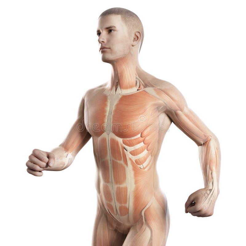 Los músculos de un basculador libre illustration