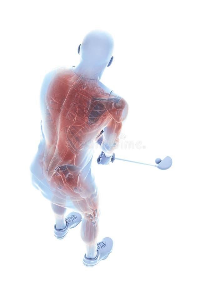 Los músculos de un jugador de golf ilustración del vector