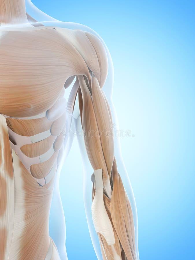 Los músculos del brazo stock de ilustración. Ilustración de músculo ...