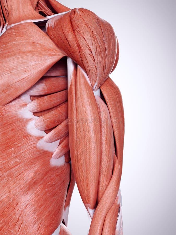Los músculos del brazo superior stock de ilustración