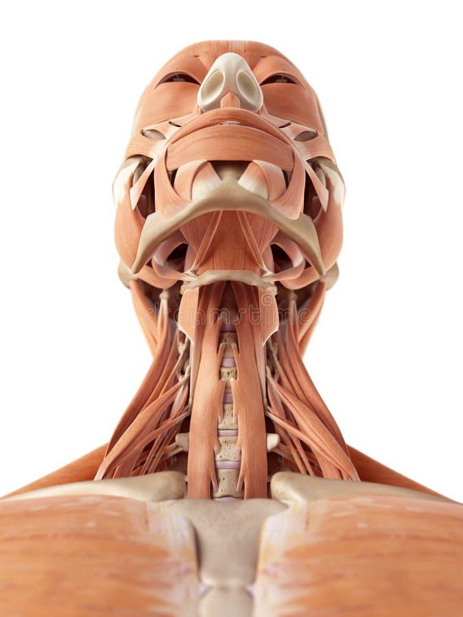 Los músculos del cuello stock de ilustración. Ilustración de ...