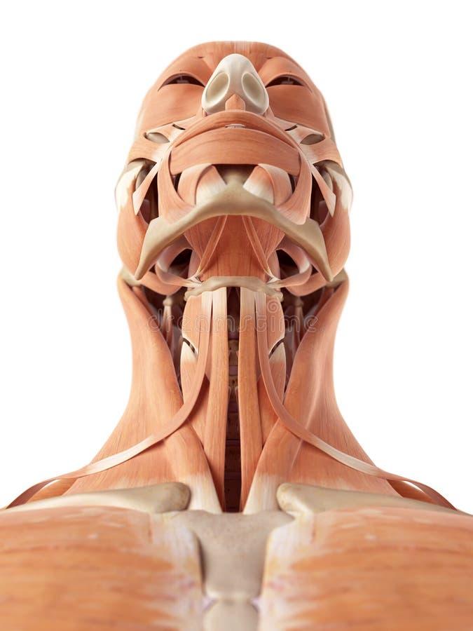 Los músculos del cuello stock de ilustración. Ilustración de sano ...