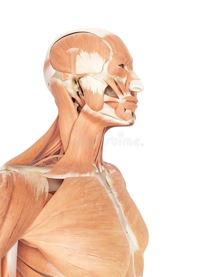 Los Músculos Del Cuello Y De La Garganta Stock de ilustración ...