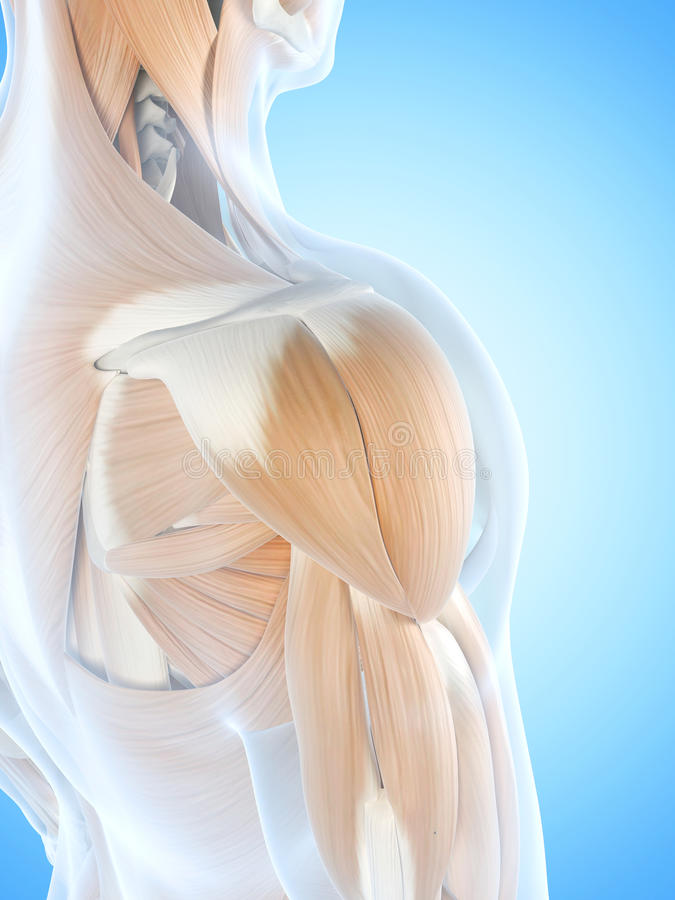 Los músculos del hombro ilustración del vector
