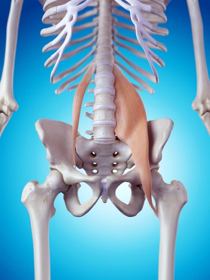 Los músculos del psoas ilustración del vector