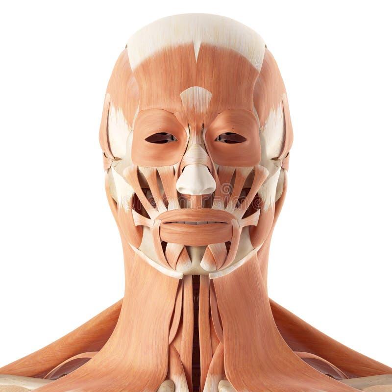 Los músculos faciales stock de ilustración. Ilustración de pista ...