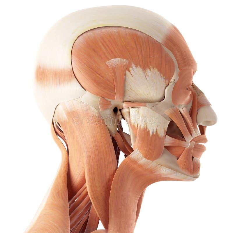 Los músculos faciales stock de ilustración. Ilustración de fondo ...
