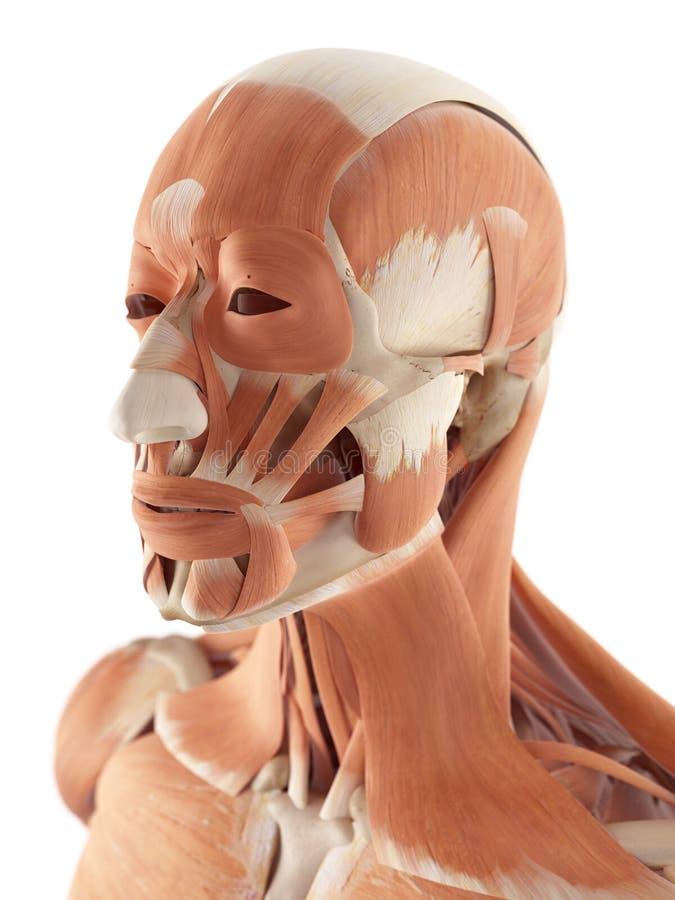 Los músculos faciales stock de ilustración