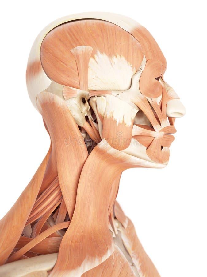 Los músculos faciales stock de ilustración. Ilustración de biomédico ...