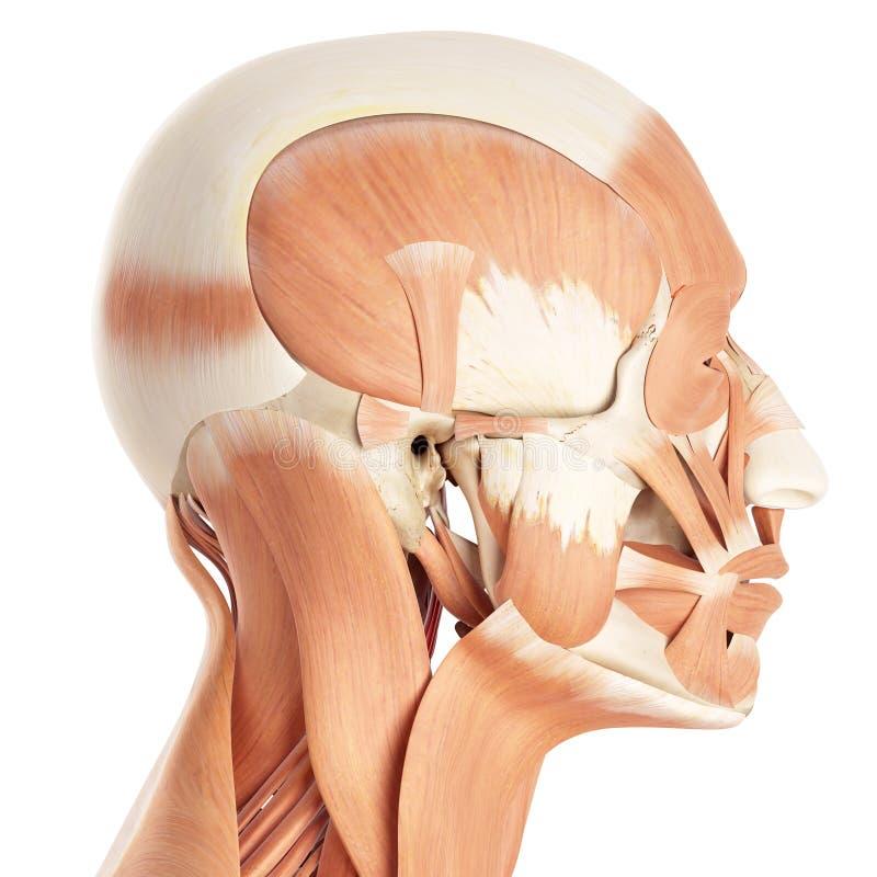 Los músculos faciales stock de ilustración. Ilustración de anatómico ...