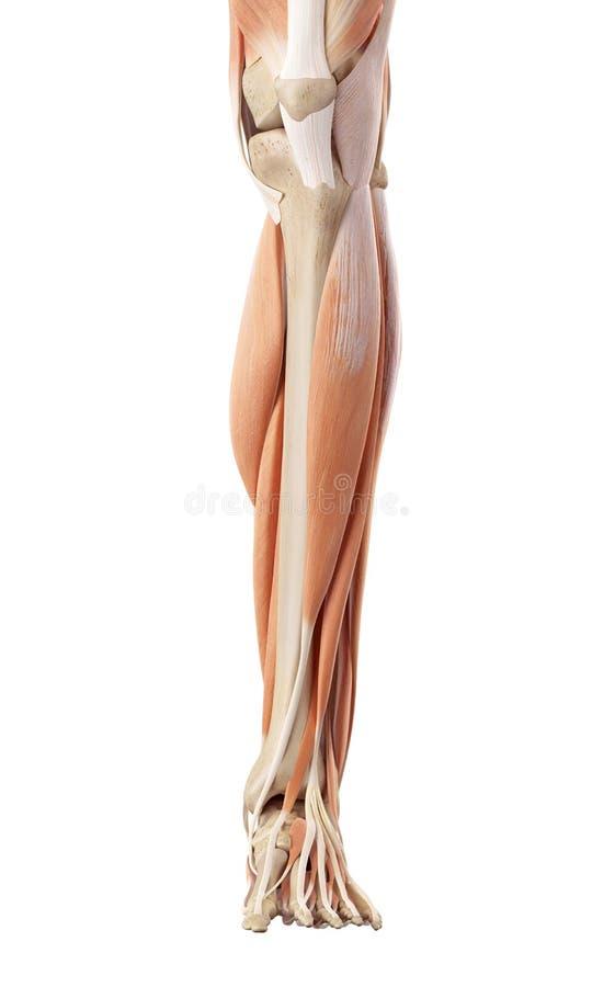 Los músculos más bajos de la pierna libre illustration