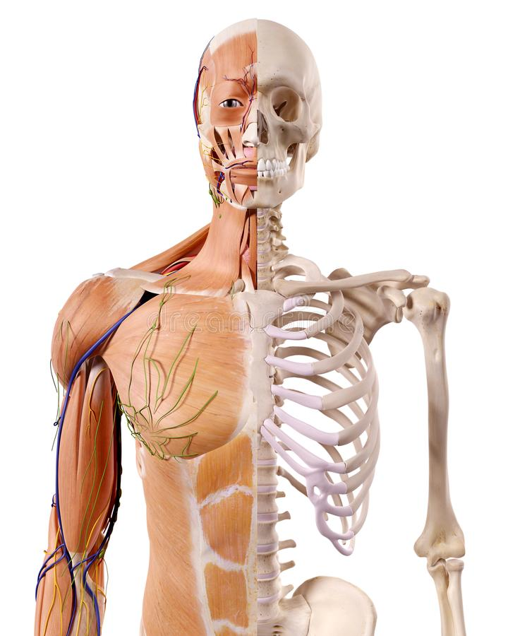 los músculos y el esqueleto stock de ilustración