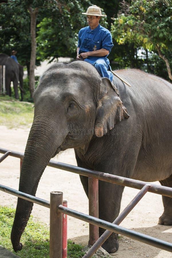 Los Mahouts controlan los elefantes esperan el plátano de la alimentación del turismo foto de archivo libre de regalías