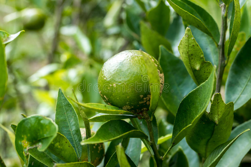 Los mandarines, frutas, cantan, se ponen verde, crecimiento, arbusto, árbol, naturaleza Isla exótica tropical de Bali, Indonesia foto de archivo libre de regalías