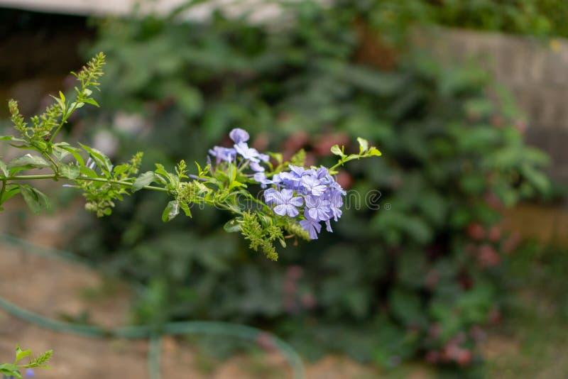 Los manojos de pétalos minúsculos azules del flor de la planta del leadwort del cabo en las hojas del verdor y el fondo borroso,  imagenes de archivo
