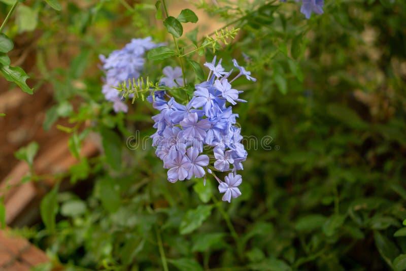 Los manojos de p?talos min?sculos azules del leadwort del cabo que florecen en las hojas del verdor y el fondo borroso, saben com foto de archivo