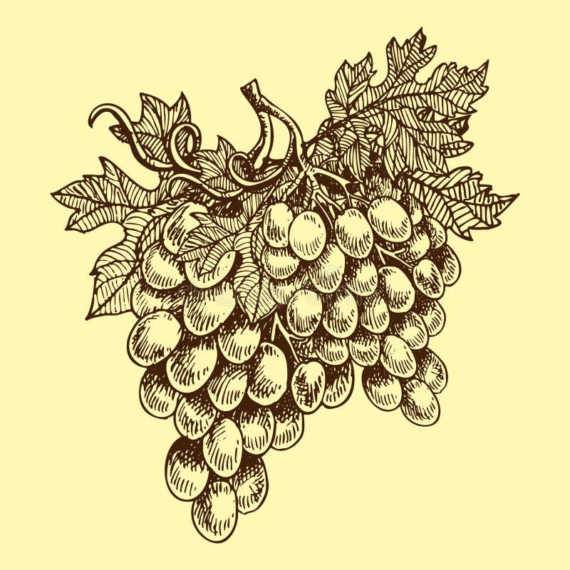 Los manojos de uvas producen la baya jugosa dibujada mano de la comida de la naturaleza del bosquejo del ejemplo del vector de la stock de ilustración