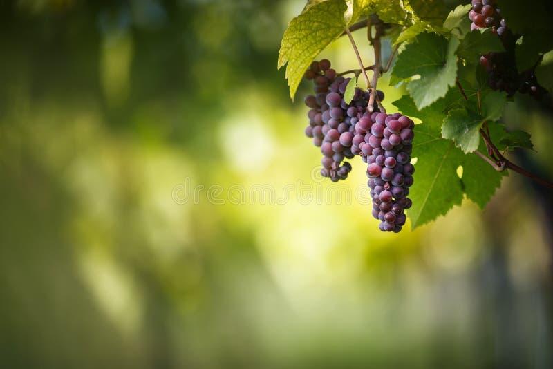 Los manojos grandes de uvas de vino rojo cuelgan de una vid vieja imagen de archivo