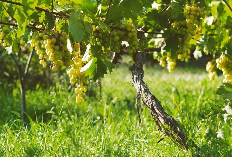 Los manojos maduros de fruta de la uva blanca del otoño cosechan listo para la transformación posterior en agricultura y fabricac imágenes de archivo libres de regalías