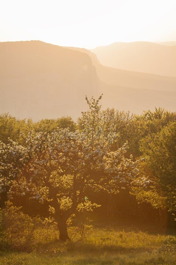 Los manzanos cultivan un huerto en una luz de oro de la puesta del sol en Crimea imagen de archivo