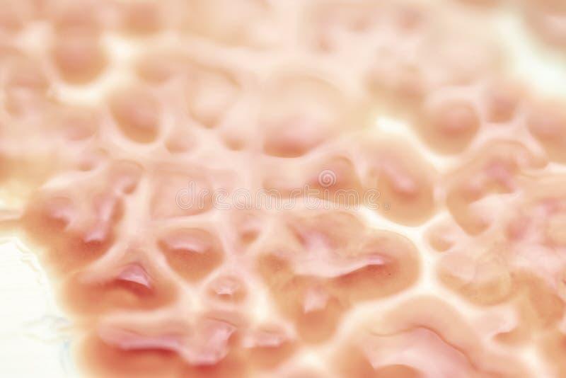 Los marcescens de la Serratia son especies de bacterias gramnegativas barra-formadas fotografía de archivo