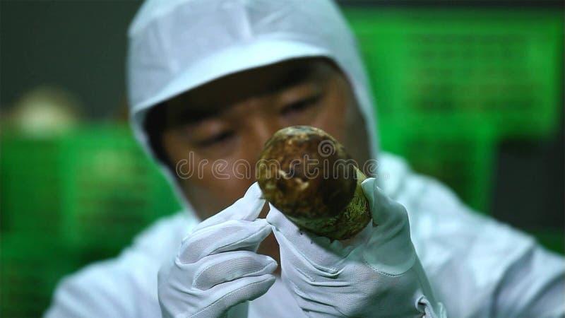 Los matsutakes de proceso de la limpieza y el mantener tan rápido como sea posible después de comprado yunnan China foto de archivo