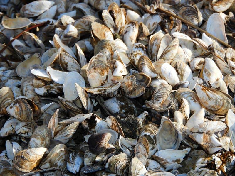 Los mejillones y las almejas minúsculos se lavan para arriba a lo largo de línea de la playa del Cayuga fotografía de archivo libre de regalías