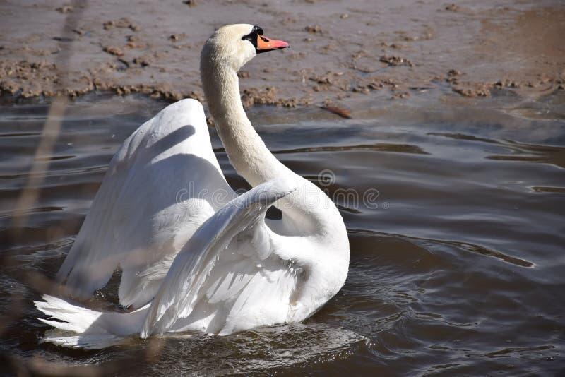 Los miembros extant más grandes de los cisnes del Anatidae de la familia de las aves acuáticas, y están entre los pájaros que vue fotos de archivo libres de regalías