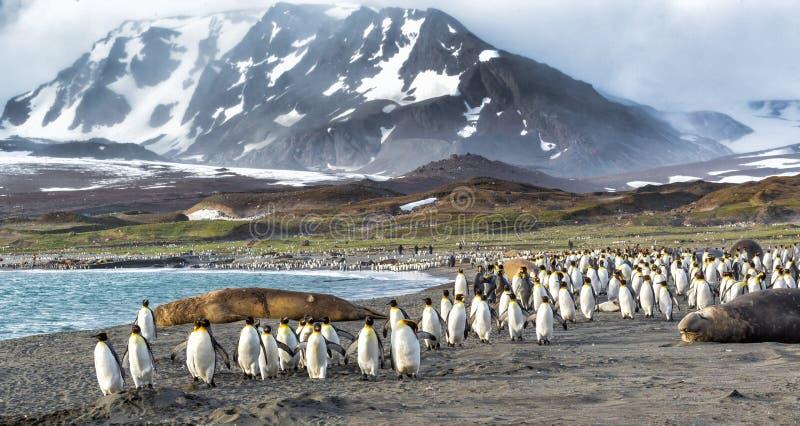 Los millares de rey Penguins corren de los vientos de Kabaltic en St Andrews Bay, Georgia del sur fotografía de archivo