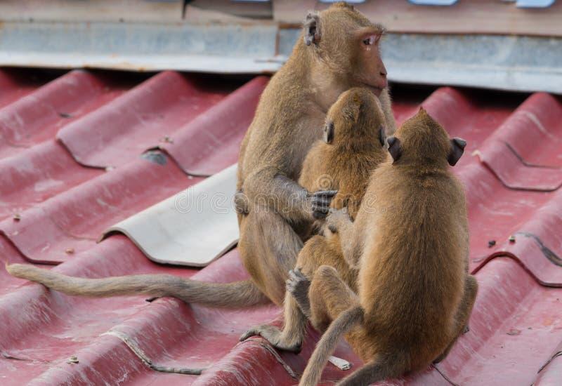 Los monos adolescentes se sientan en el tejado de la casa foto de archivo libre de regalías