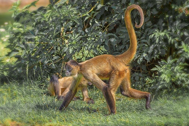 Los monos de ara?a son monos de nuevo mundo que pertenecen al g?nero Ateles, parte de la subfamilia Atelinae, familia Atelidae fotos de archivo