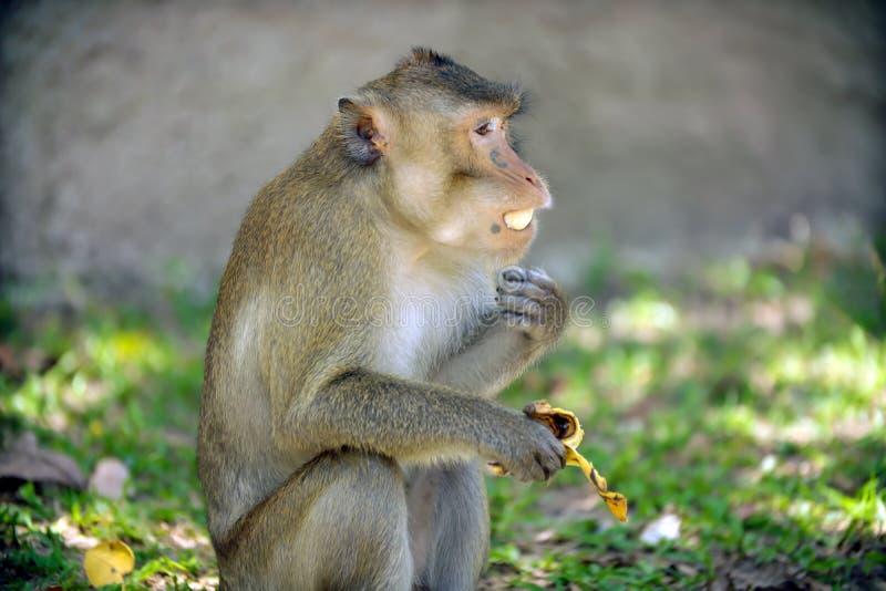 Los monos se sientan y comiendo la fruta del plátano foto de archivo