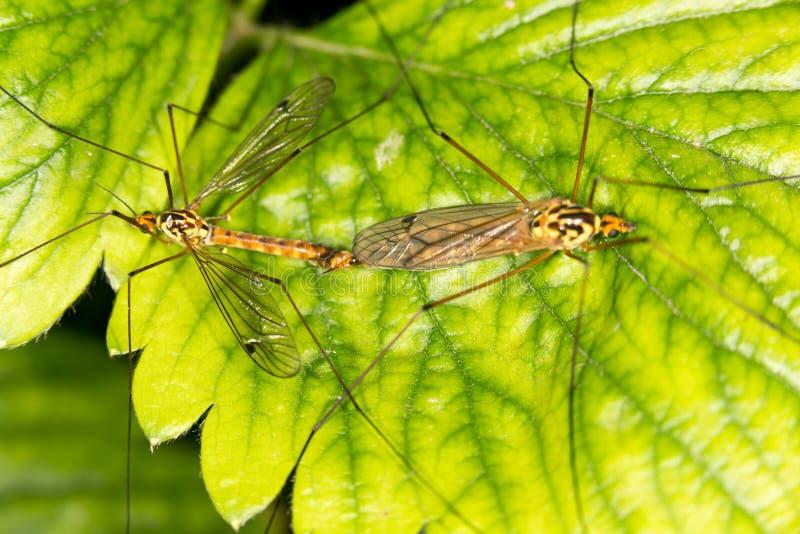 Los mosquitos hacen el amor fotos de archivo libres de regalías