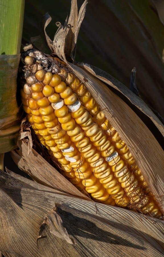 Los núcleos de maíz en una mazorca de maíz en una cáscara imagen de archivo libre de regalías