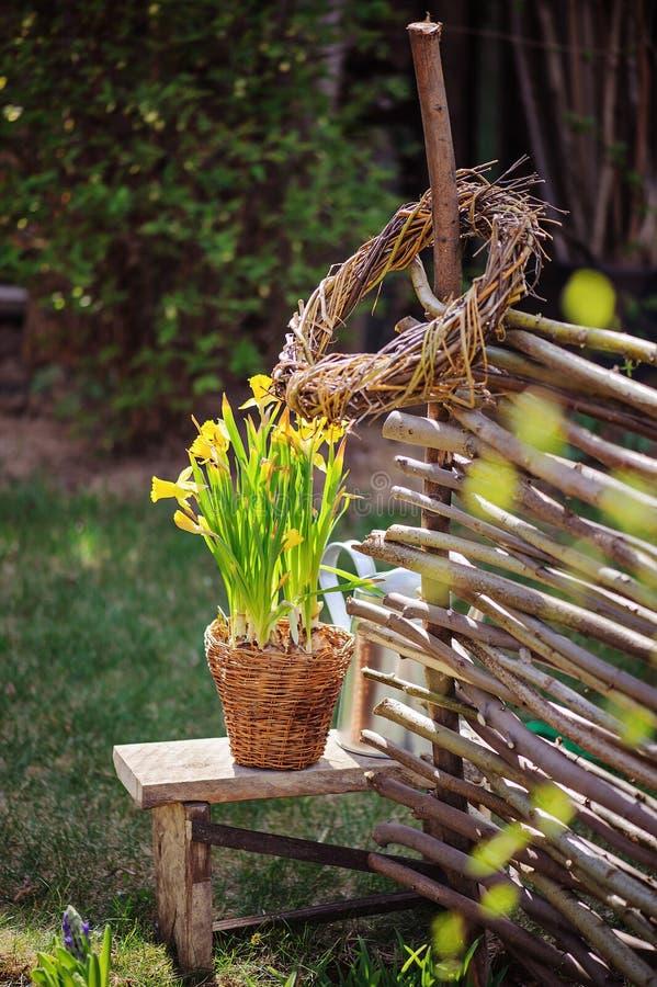 Los narcisos amarillos en pote, cerca de mimbre de mimbre y herramientas en primavera temprana cultivan un huerto fotografía de archivo