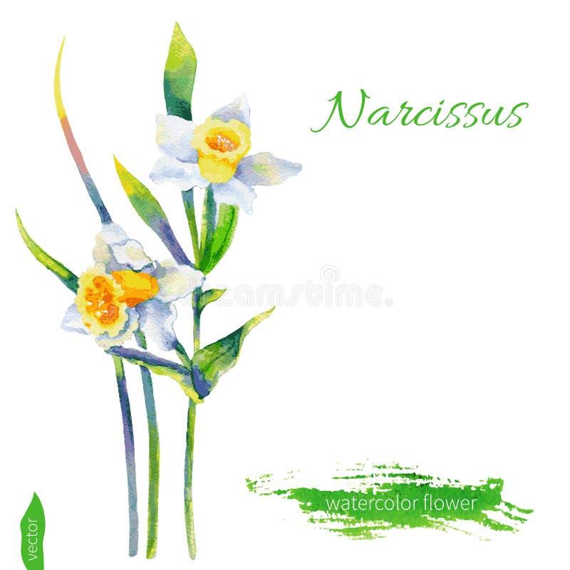 Los narcisos florecen, ejemplo aislado en el fondo blanco, ejemplo dibujado mano del vector, diseño floral de la acuarela libre illustration