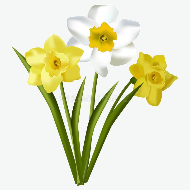 Los narcisos frescos hermosos florales de la primavera florecen en el ejemplo blanco del vector del fondo stock de ilustración