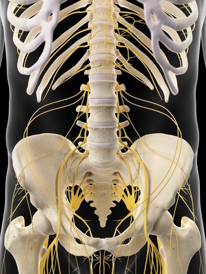 Los nervios abdominales libre illustration