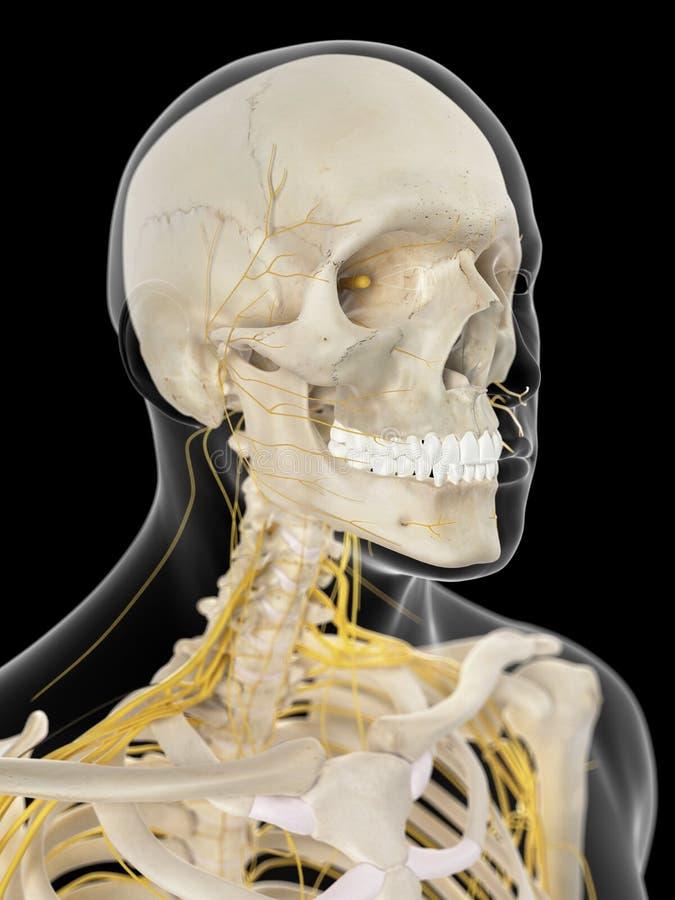 Los nervios cervicales ilustración del vector