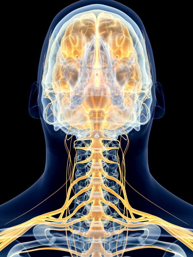 Los nervios cervicales stock de ilustración. Ilustración de anatomía ...