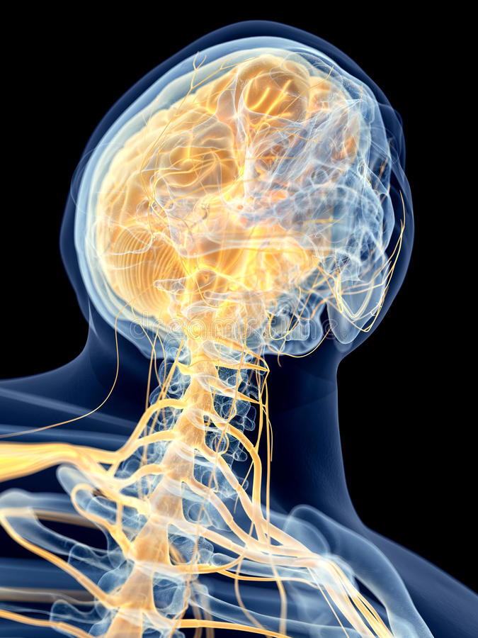 Los nervios cervicales stock de ilustración