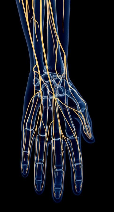 Los nervios de la mano stock de ilustración. Ilustración de salud ...