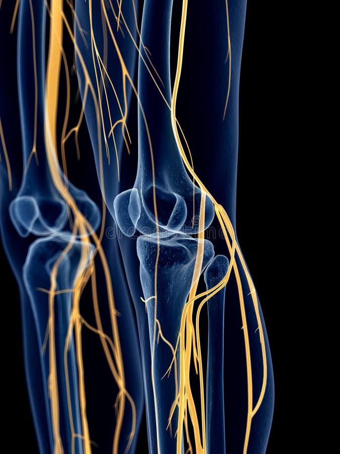 Los nervios de la rodilla ilustración del vector