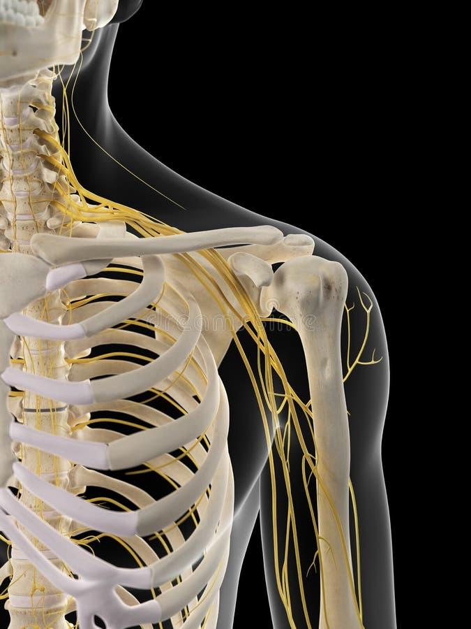 Los nervios del hombro stock de ilustración