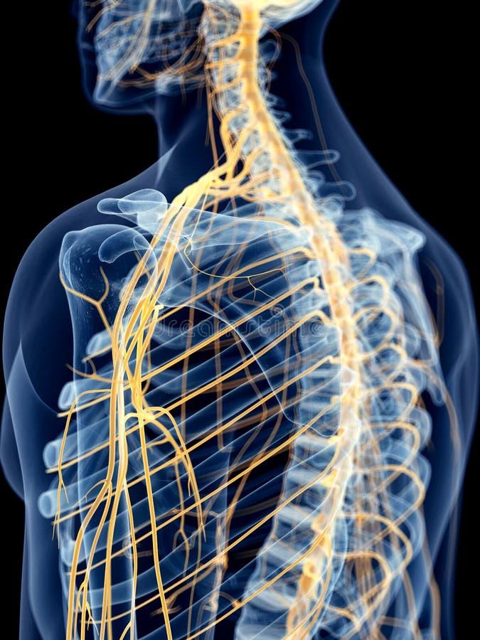 Los nervios del hombro libre illustration
