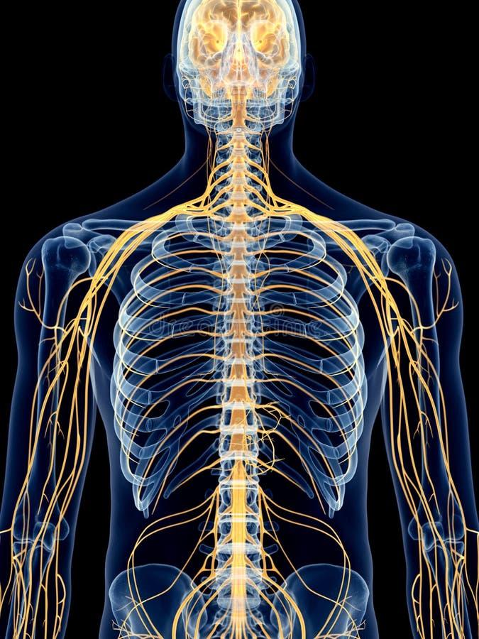 Los nervios intercostales libre illustration