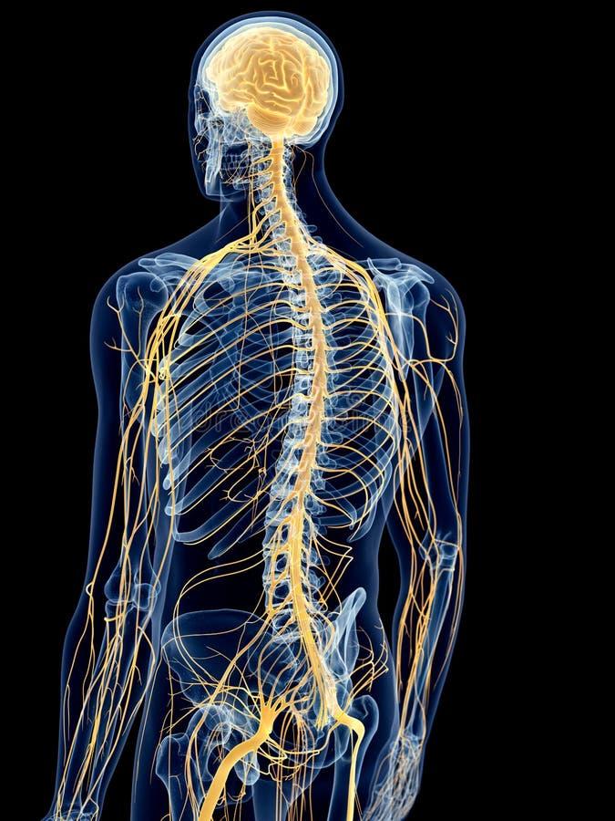 Los nervios traseros stock de ilustración