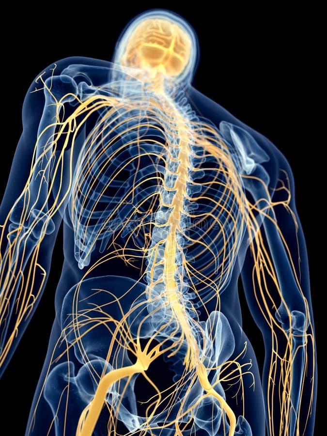 Los nervios traseros ilustración del vector