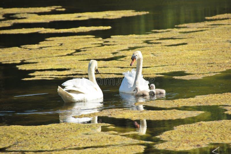 Los niños jovenes del cisne de HSmall exploran el área fotografía de archivo