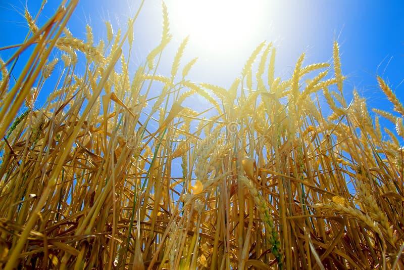 Los oídos del trigo de oro contra el contexto de un cielo azul brillante se encendieron por los rayos de un sol caliente del vera foto de archivo